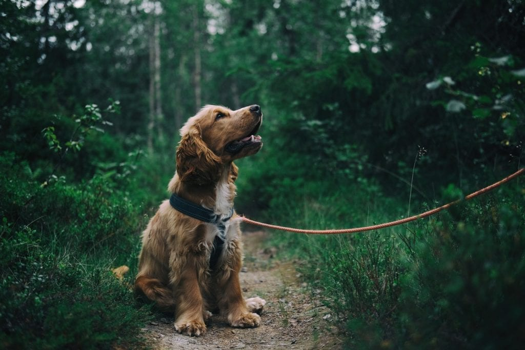 Dog on lead in rich green forest
