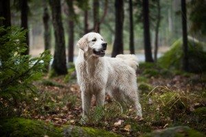 A dog enjoying a walk in the woods. The Wildlife Charter asks that you keep control of your dog while you explore the delights of Cornwall. www.carbisbayholidays.co.uk
