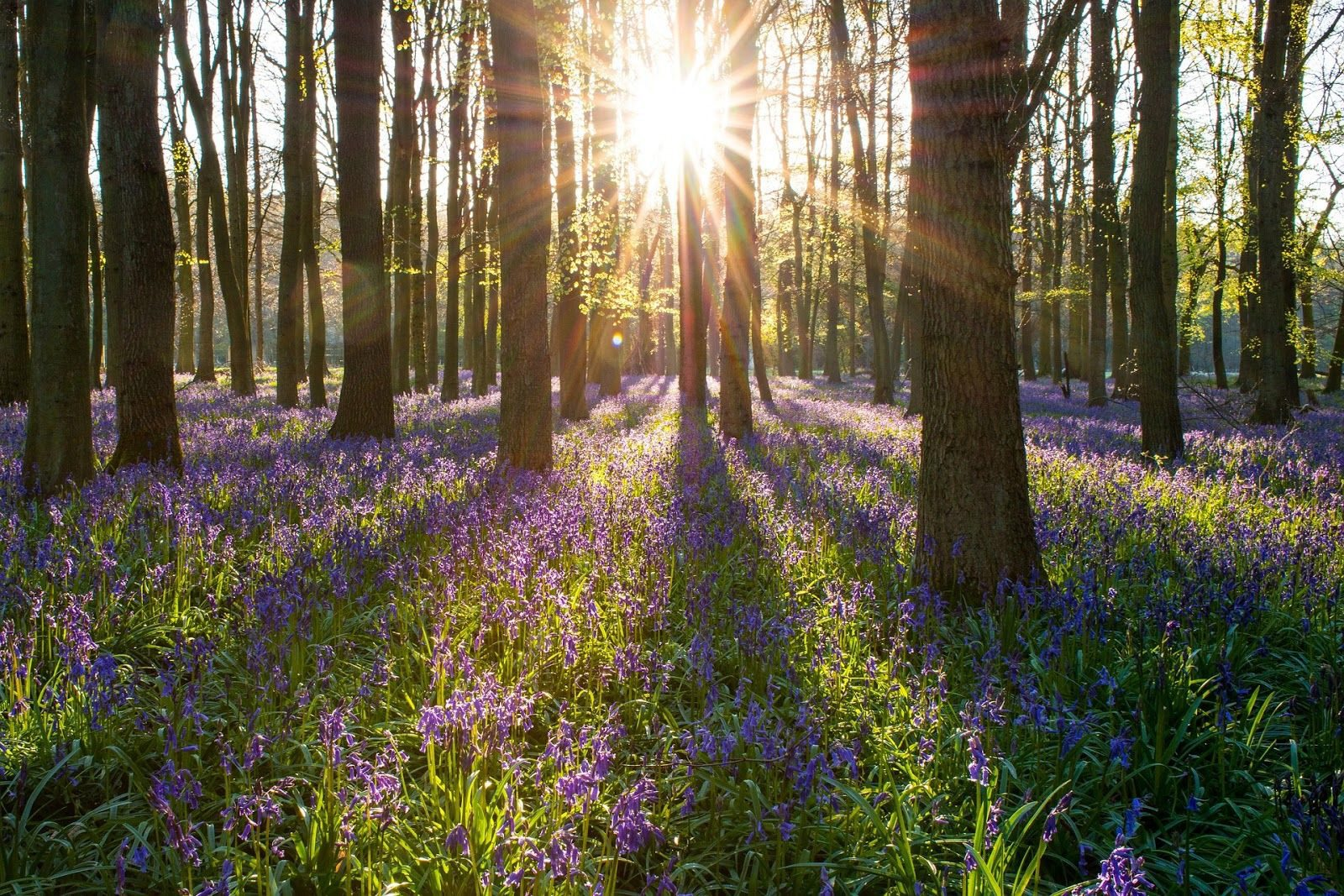 St Ives Forest with floor covered in violet flowers