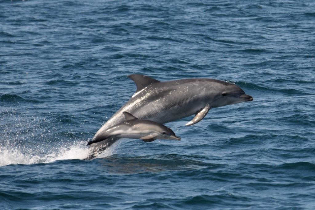 St Ives Boat Trips, Dolphins