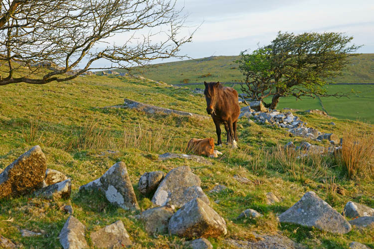 A female horse, Bodmin Moor, Cornwall, England, UK