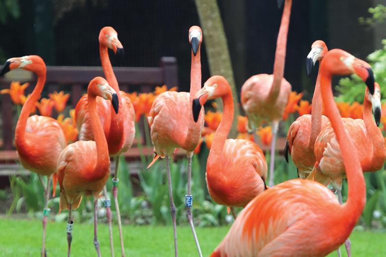 Flamingos at Paradise Park Hayle