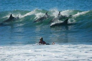Bottlenose Dolphins can be spotted frequently off the coast of Cornwall. They sometimes love to surf too! www.carbisbayholidays.co.uk