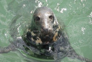 A friendly Seal bobbing in St Ives Harbour. Look out for this local wildlife species from the Harbour Wall. www.carbisbayholidays.co.uk